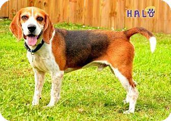 Beagle Dog for adoption in Sebastian, Florida - Bagel