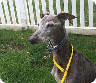 Italian Greyhound Dog for adoption in Lincoln, Nebraska - Ralphie