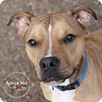 American Staffordshire Terrier Mix Dog for adoption in Lyons, New York - Cecil