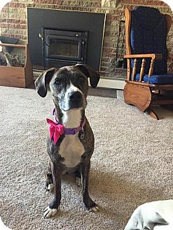 Greyhound/Boxer Mix Dog for adoption in Silver Lake, Wisconsin - DAYZIE