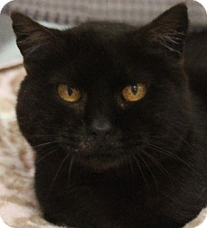 Domestic Shorthair Cat for adoption in Savannah, Missouri - Winnie
