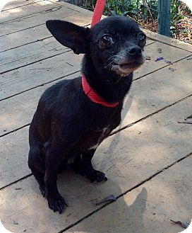 Chihuahua Mix Dog for adoption in Santa Ana, California - Etta (5 Ibs.)