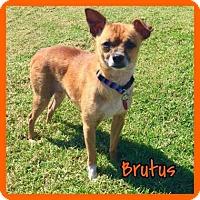 Adopt A Pet :: Brutus - Jasper, IN