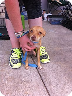Chihuahua Mix Dog for adoption in Blanchard, Oklahoma - Scout