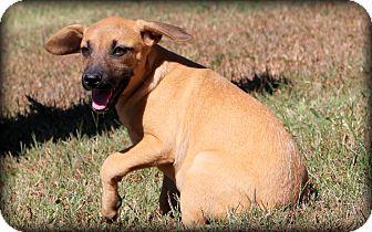 Labrador Retriever/Shepherd (Unknown Type) Mix Puppy for adoption in Glastonbury, Connecticut - Charity~ meet me!