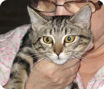 Domestic Shorthair Kitten for adoption in Lombard, Illinois - Chicka