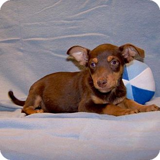 Chihuahua Mix Puppy for adoption in Fayetteville, Tennessee - 16-d10-026 Marcus