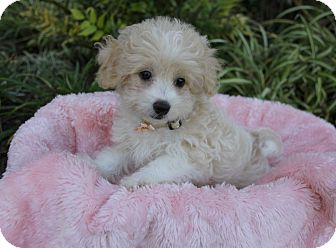 Maltese/Poodle (Miniature) Mix Puppy for adoption in Newport Beach, California - JESSICA