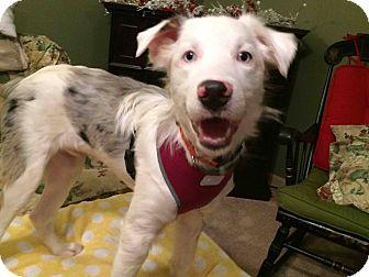 Australian Shepherd Mix Dog for adoption in New Oxford, Pennsylvania - Thorn