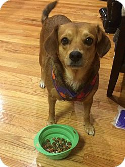 Beagle/Pug Mix Dog for adoption in Verona, New Jersey - Poppie: Adoption Pending