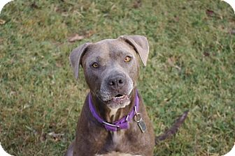 Weimaraner/Labrador Retriever Mix Dog for adoption in Arlington, Tennessee - CC