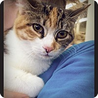 American Shorthair Cat for adoption in Los Angeles, California - Alice