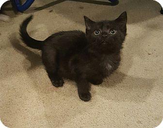 Domestic Shorthair Kitten for adoption in Raritan, New Jersey - Lady