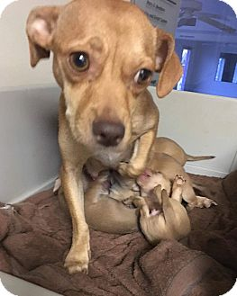 Pug/Chihuahua Mix Dog for adoption in Oakland, Florida - Georgia