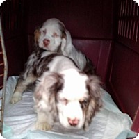 Adopt A Pet :: 2 chocolate merle 1 F & 1 M - WOODSFIELD, OH