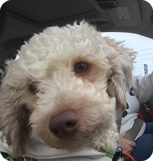 Poodle (Miniature) Dog for adoption in Hedgesville, West Virginia - Fabian