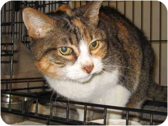American Shorthair Cat for adoption in Los Angeles, California - Janis Joplin