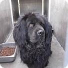 Adopt A Pet :: Chowski