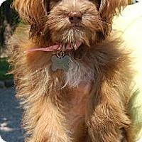 Adopt A Pet :: Ashley - Brattleboro, VT