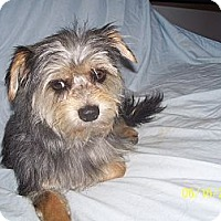 Adopt A Pet :: Silky - Andrews, TX