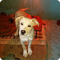 Adopt A Pet :: Chewie - Phoenxville, PA