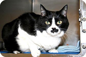 Domestic Shorthair Cat for adoption in Brigham City, Utah - Gravey Kat