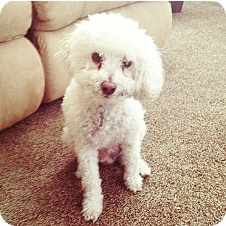 Poodle (Toy or Tea Cup) Mix Dog for adoption in Murrieta Hot Springs, California - Kalel