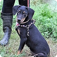 Adopt A Pet :: Vivie~meet me!~ - Glastonbury, CT