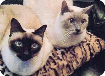 Siamese Cat for adoption in Patterson, New York - Sheba & Shimi