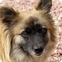 Australian Shepherd/Pembroke Welsh Corgi Mix Dog for adoption in Colorado Springs, Colorado - Allie