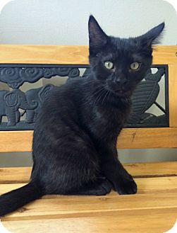 Domestic Shorthair Kitten for adoption in Fairfax, Virginia - Eli