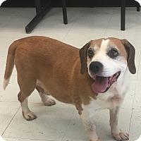 Adopt A Pet :: Shammy - Nashville, TN