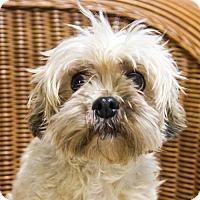 Shih Tzu/Papillon Mix Dog for adoption in St. Louis Park, Minnesota - Ginnie