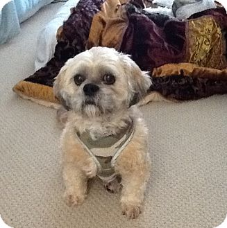 Lhasa Apso Dog for adoption in Lake Forest, California - Bucket