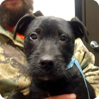 ... Puppy | Brattleboro, VT | Airedale Terrier/Labrador Retriever Mix