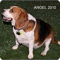 Adopt A Pet :: Angel Baby - Phoenix, AZ