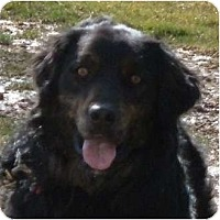 Adopt A Pet :: Gibbs - Courtesy Listing - Cheshire, CT