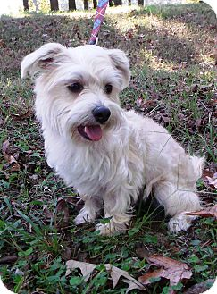 West highland terrier ...