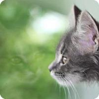 Adopt A Pet :: H Litter - Lyra - Williamston, MI