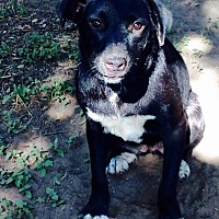 Blue Heeler/Retriever (Unknown Type) Mix Dog for adoption in Beeville, Texas - Gina