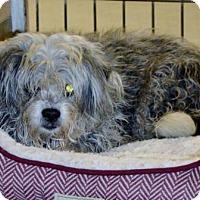 Adopt A Pet :: Poodle fem X Sr. - San Jacinto, CA