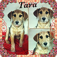 Adopt A Pet :: Tara-pending adoption - East Hartford, CT