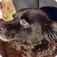 Adopt A Pet :: Stella - Cheshire, CT