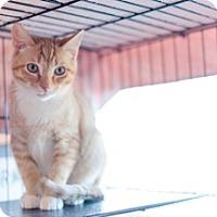 American Shorthair Cat for adoption in Gainesville, Virginia - Rex