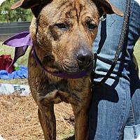 Adopt A Pet :: Duke - Atlanta, GA