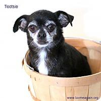 Adopt A Pet :: Tootsie - Bloomington, MN