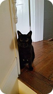 Domestic Shorthair Cat for adoption in Medford, New Jersey - Josie (Judy's cat)