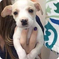 Adopt A Pet :: Jimmy - Chloe Pup - Encino, CA