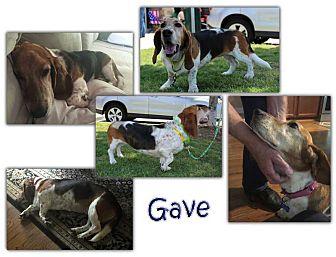 Basset Hound Dog for adoption in Marietta, Georgia - Gave