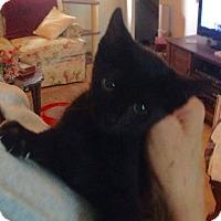 Domestic Shorthair Kitten for adoption in Evans, West Virginia - Coffee